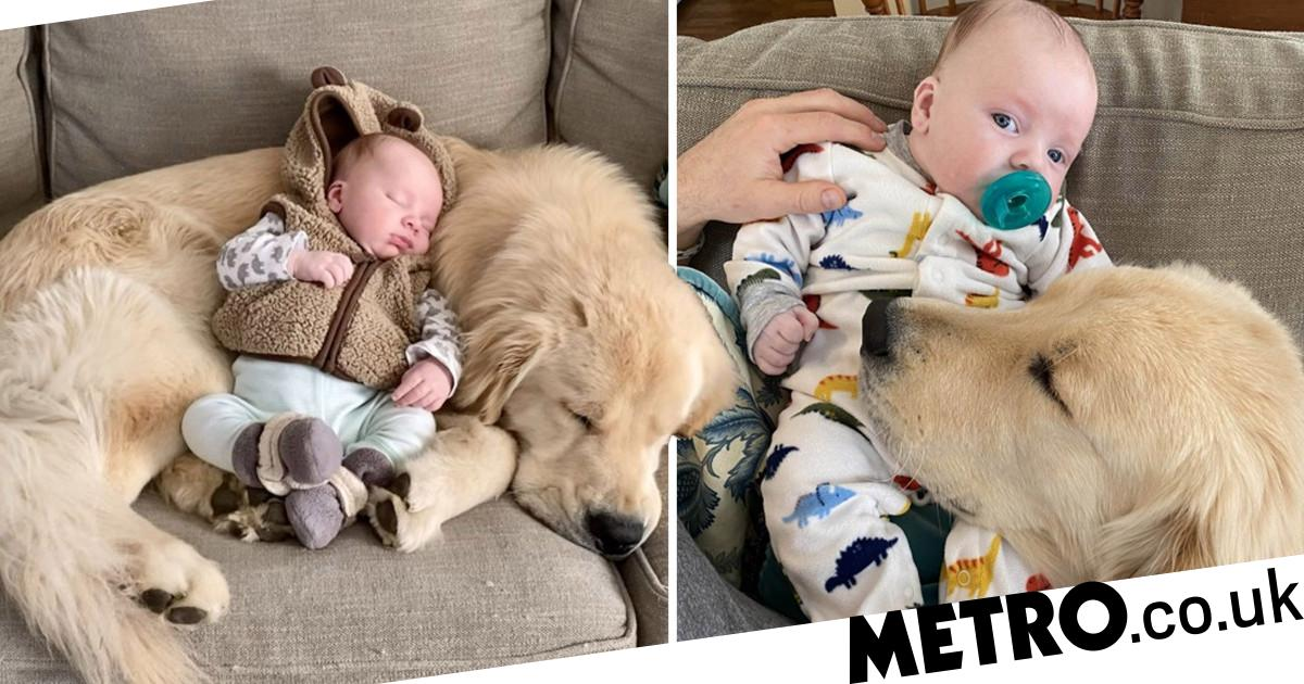 Hinckley the Golden Retriever is the perfect big brother to his human sibling