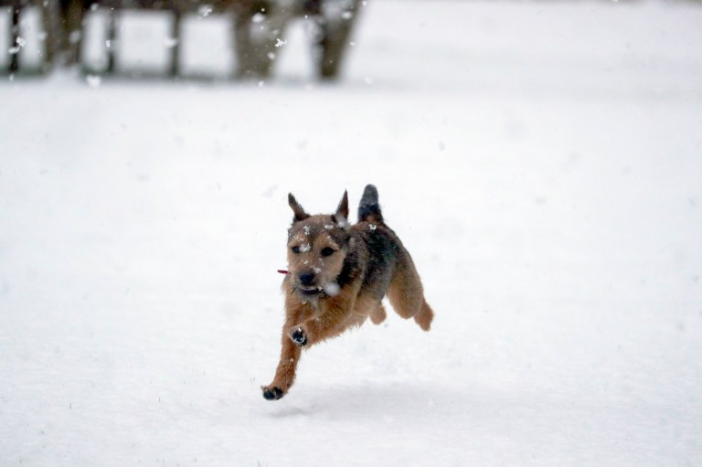Winston, an 8 month old Border Terrier, enjoys the snow for the first time near Windsor, Berkshire. Picture date: Sunday January 24, 2021. PA Photo. Conditions are set to become more hazardous going into the final week of January as the Met Office gets ready to put in place five new weather warnings for snow and ice. Photo credit should read: Steve Parsons/PA Wire