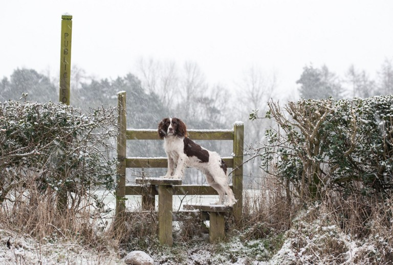 Alamy Live News. 2E4KH0R Shrewsbury, Shropshire, UK. 24th Jan, 2021. Izzy a Springer Spaniel out in the early morning snow in the Shropshire Countryside on Sunday 24th Janury 2021. Fresh snow fall near to Shrewsbury, Shropshire after the recent flooding in the County Credit: RICHARD DAWSON/Alamy Live News This is an Alamy Live News image and may not be part of your current Alamy deal . If you are unsure, please contact our sales team to check.