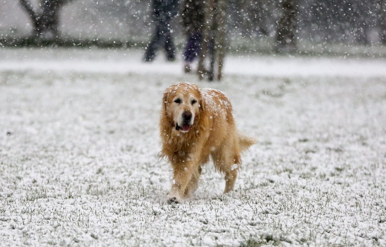 Mandatory Credit: Photo by Dinendra Haria/SOPA Images/REX (11724152h) A dog braves the snow in Finsbury Park, north London as large parts of the UK are expected to be blanketed in snow and freezing conditions. According to the Met Office, the cold weather could bring up to 10cm of snow to some parts of the country and an amber weather warning for snow and ice is in place across much of the UK. Snowfall in London, UK - 24 Jan 2021