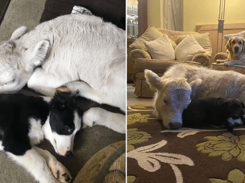 Adorable calf thinks she's a puppy after being reared by family following difficult birth