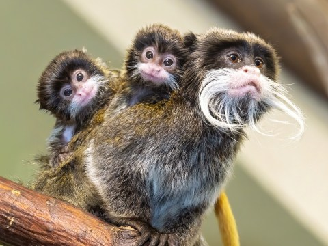 Marvel at the cuteness of these tiny tamarin monkey triplets, each with a mini moustache