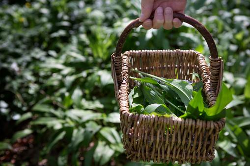 National Garlic Day: When is wild garlic in season?