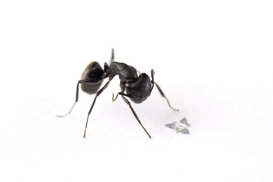 ***EMBARGOED UNTIL 16.00 BST, WED SEPT 22 (11:00 ET)*** A 3D microflier next to a common ant for scale. See SWNS story SWNNchip; A winged microchip about the size of a grain of sand has become the smallest-ever man-made flying machine. Scientists say the 'microfliers' could monitor air pollution, airborne disease and environmental contamination. The tiny device does not have a motor or engine. Instead, it catches flight on the wind - just like a maple tree???s propeller seed - and spins like a helicopter through the air toward the ground. By studying maple trees and other types of wind-dispersed seeds, engineers optimised the microflier???s aerodynamics to ensure that it - when dropped from a high elevation - falls at a slow velocity in a controlled manner. Engineers explained in the journal Nature how that stabilises its flight, ensuring dispersal over a broad area and increasing the amount of time it interacts with the air, making it ideal for monitoring air pollution and airborne disease.