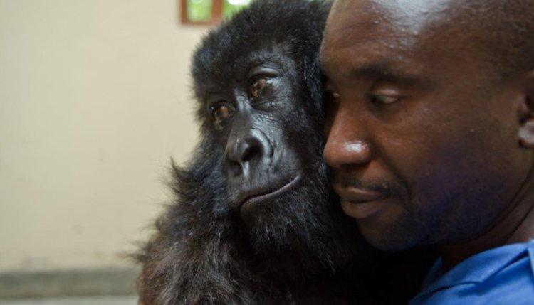 Ndakasi holding onto a ranger. Ndakasi, a mountain gorilla in the Virunga National Park's Senkwekwe Center, died in the arms of the ranger who rescued her as an infant.