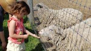 Naomi feeding the sheep at The Petting Farm at Domino's Farms