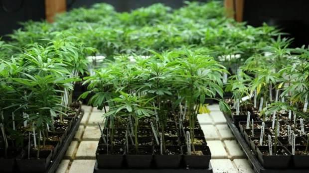 marihuana san luis potosi