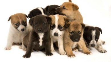 Photo of 50 cachorros están en busca de un hogar: Adoptar…es Puppy Edition