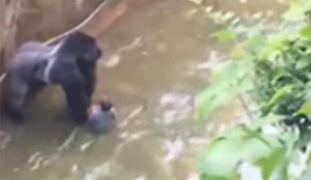 Sacrifican Gorila Salvar Niño