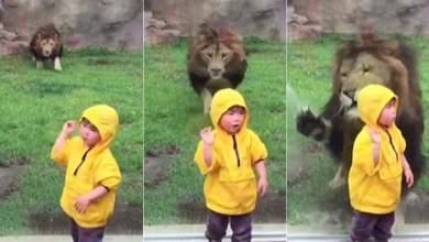 Photo of León intentó atacar a niña en zoológico de Japón