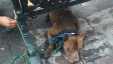 Photo of Pitbull amputa dedo de persona en Tequis; Municipales dejan libre al dueño