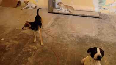 Photo of «Detienen a perros» en Salinas por entrar a gallinero del hermano del Alcalde;serán sacrificados