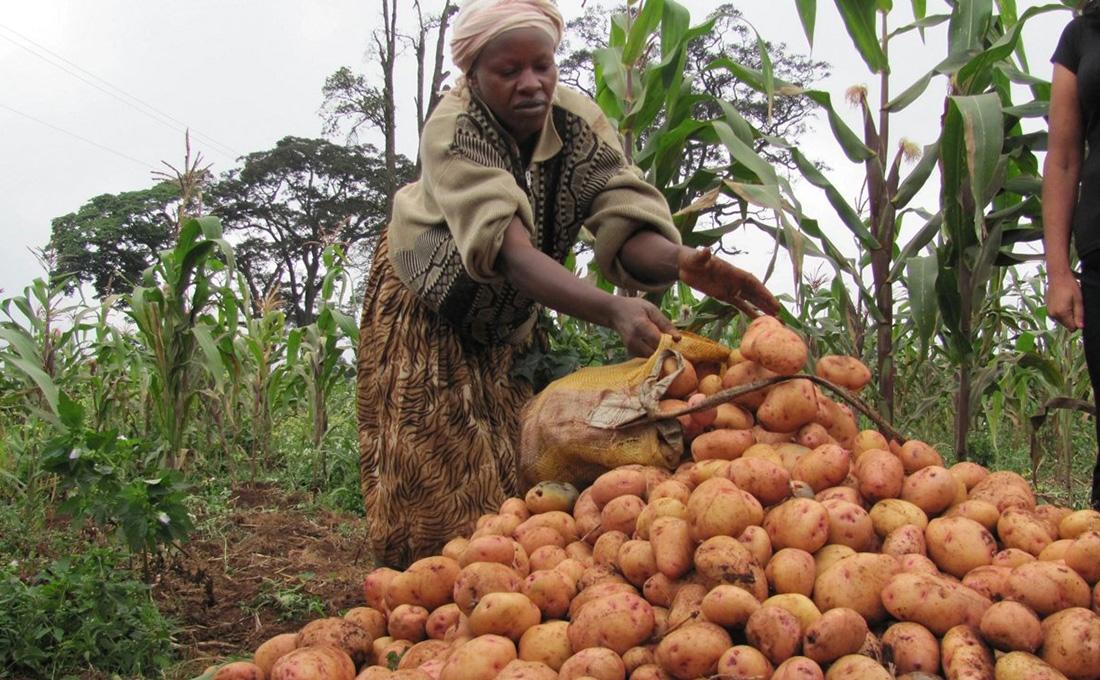 Potato farmers receive free certified potato seed