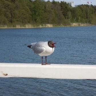 Seagull I Lokki