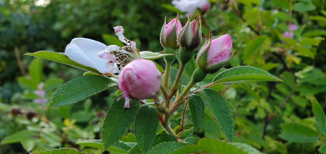 Rose Garden in Helsinki