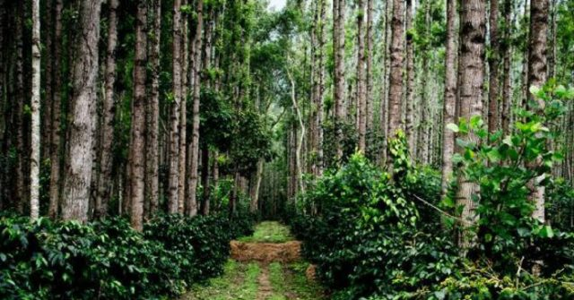 facts about chikmagalur coffee