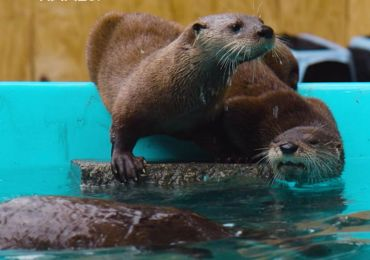 Help the St. Louis Aquarium name its new family of otters