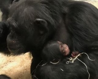Newborn at Zoo is healthy chimpanzee after mother's 2019 loss
