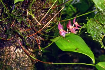 monteverde costa rica orkidé