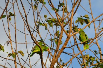 hotel hacienda guachipelin currubande rincon de la vieja costa rica papegøjer