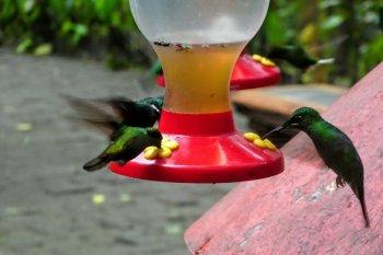 monteverde costa rica kolibrier