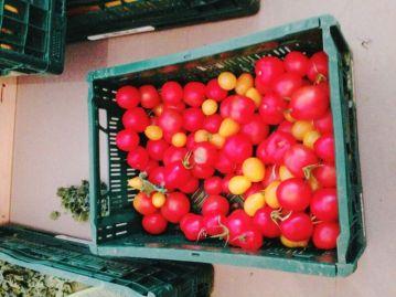 Gelbe und rote Tomaten, frisch geerntet