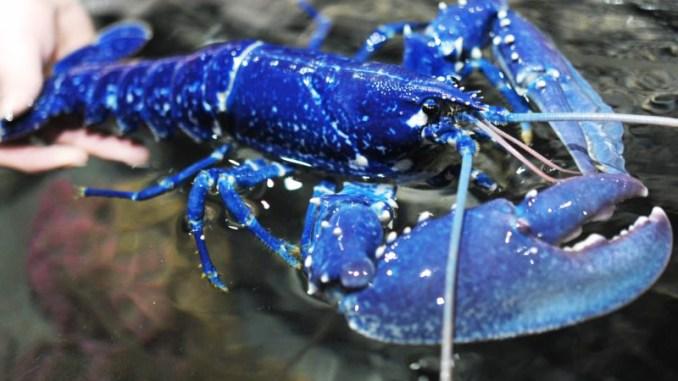 Azul é a cor do ano segundo a Pantone, foto mostra uma lagosta azul.