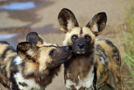 Resultado de imagem para Cão Selvagem Africano