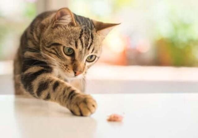 Equilíbrio intestinal dos gatos
