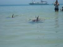 Día 4. Monkey Mia en Shark Bay. Los delfines vienen a la orilla