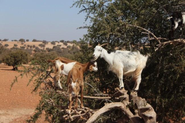 Goats in Trees in Essaouira