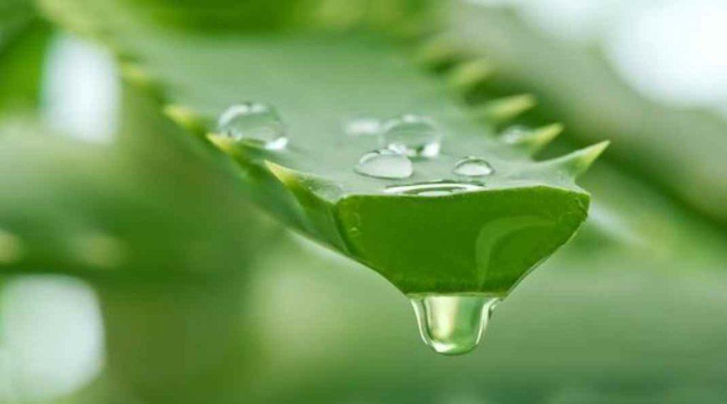 تحتوي الألوفيرا (Aloe vera) على بعض الإنزيمات التي تساعد على تعزيز نمو الشعر والحفاظ على نعومة شعرك