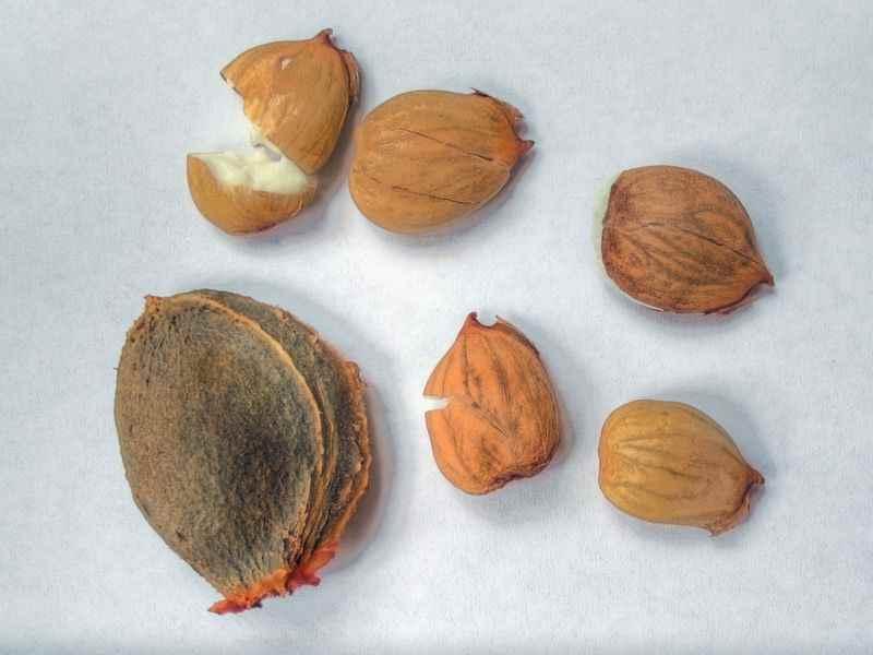 يحتوي المشمش على بذور تشبه اللوز الى حدٍ كبير
