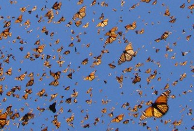 Monarch butterflies en route to Mexico