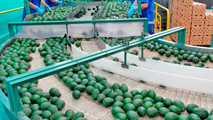 Michoacán exporta a EU 48 mil toneladas más de aguacate que el ciclo anterior.