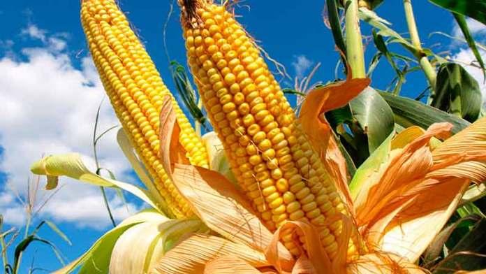 Los 35 principales destinos de las exportaciones de maíz de EU