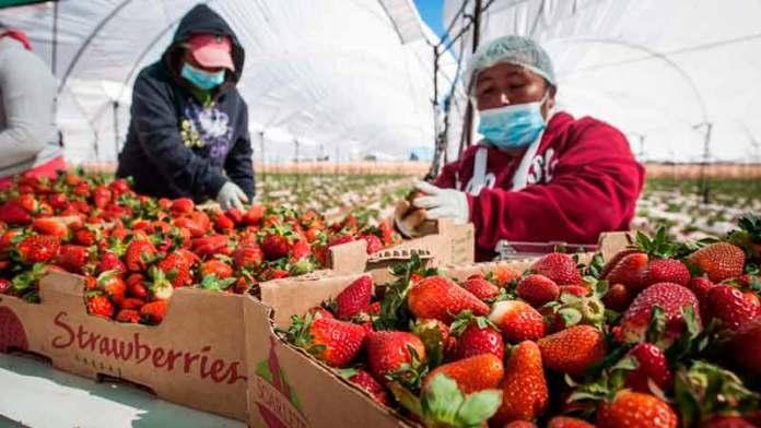 Aumentan 15% exportaciones del campo guanajuatense