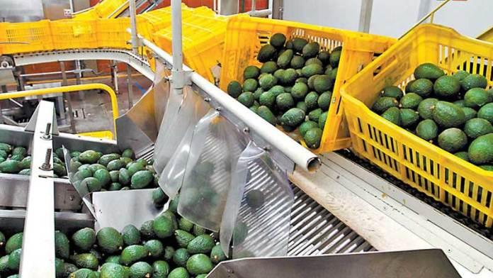 Exportaciones mexicanas de aguacate rompen récord y se triplican en una década