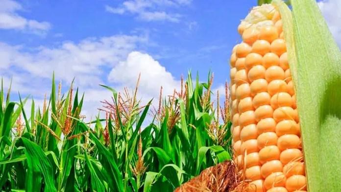 Importaciones de maíz a México crecerían 1.8%: USDA