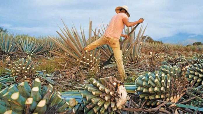 Tequila, primera bebida alcohólica libre de deforestación