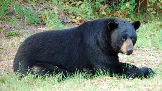 a black bear.jpg