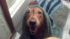dog with towel on his head