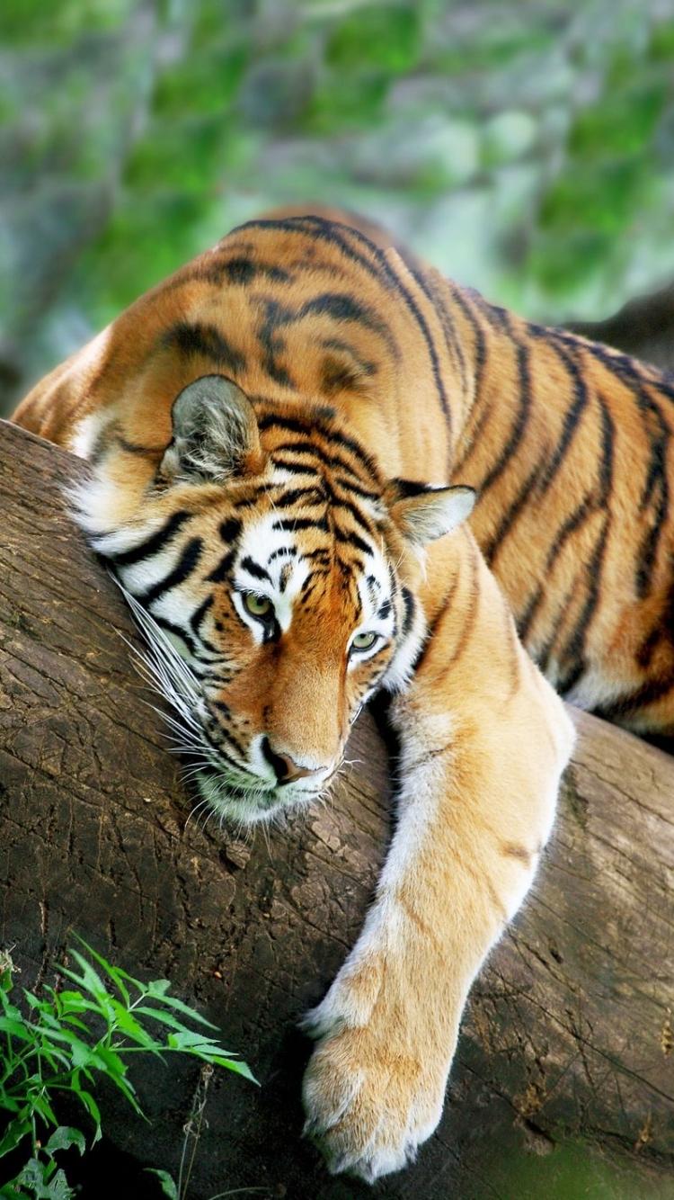 iphone 7 - animal/tiger - wallpaper id: 585063