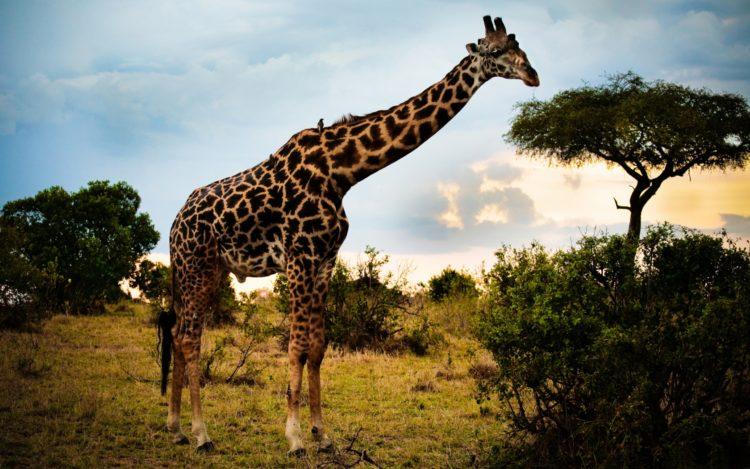 Жирафы: внешний вид, чем питается, максимальная скорость животного. Чем питается жираф