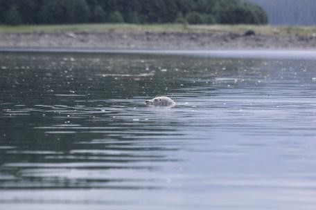 Silent seals (above water, roaring below)