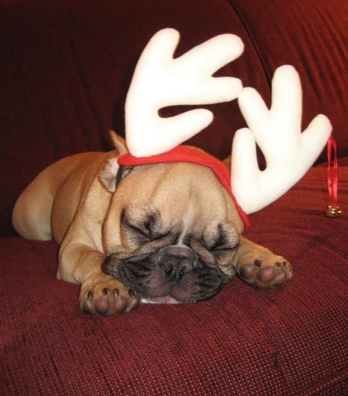 puppy reindeer