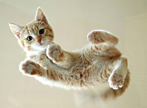 Supercat!! supercat!! vuela sobre tu mesa como spiderman