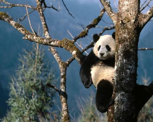 Pandaintree1