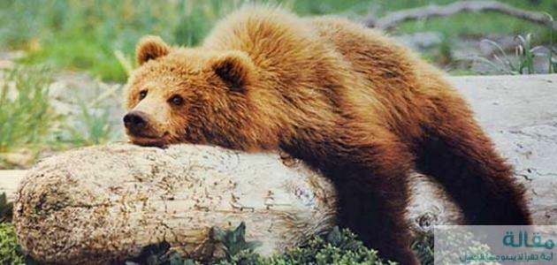 نبذة عن الدب الكسلان
