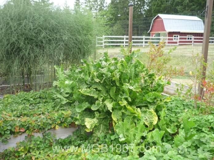 Horseradish taking over the garden